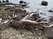 stock photo of driftwood  - Beautifully sculpted driftwood resting on a rocky shore - JPG