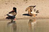Eagle Fight - Bateleur and Tawny disagree over water rights in Africa