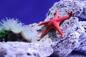 stock photo of shell-fishes  - red star fish in fish tank on rock - JPG