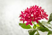 image of scant  - Bright red pentas in pot on light background - JPG