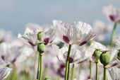 picture of opiate  - Opium poppy Papaver somniferum grown for the production of medical opiates - JPG