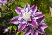 Clematis, Flower In The Sunlight