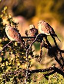 picture of ocotillo  - Mourning doves resting on an ocotillo cactus branch - JPG