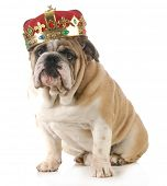 stock photo of bulldog  - dog wearing crown  - JPG