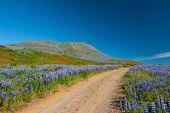 Постер, плакат: Луга полны цветущих Нутка lupin Люпин нутканский в горах близ Хусавик Исландия