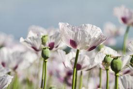 foto of opiate  - Opium poppy Papaver somniferum grown for the production of medical opiates - JPG