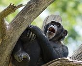 stock photo of yawning  - tired chimpanzee yawning while resting in a tree - JPG