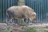 stock photo of chinese unicorn  - Photo of the Golden Takin  - JPG