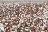 stock photo of paysage  - Stunning rural textured background of cotton harvest in northern Israel.