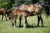 foto of mare foal  - Thoroughbred mare and foal breastfeeding in the field - JPG
