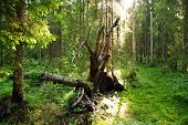 stock photo of swamps  - Forest on the edge of the swamp fallen spruce opened full - JPG