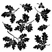 image of acorn  - Set oak branches with leaves and acorns - JPG