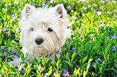 picture of westie  - west highland white terrier on the grass - JPG