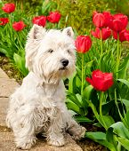 image of west highland white terrier  - west highland white terrier in the garden - JPG