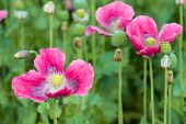 picture of opiate  - Closeup of seed boxes and dark pink colored flowers of Papaver somniferum plants cultivated in the Netherlands - JPG