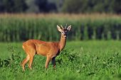 stock photo of roebuck  - Photo of roe deer standing in a grass - JPG