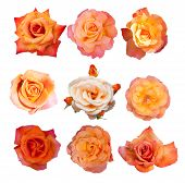 stock photo of english rose  - Rose collection - JPG