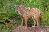 image of coyote  - Coyote  - JPG