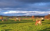 foto of blowfly  - These are cows in green pasture to the sunset - JPG