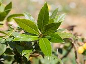 picture of bay leaf  - laurel tree, fresh bay leaves, in soil