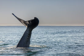 pic of whale-tail  - Humpback whale - JPG