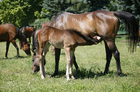 picture of colt  - Thoroughbred mare and foal breastfeeding in the field - JPG