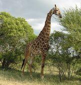 Постер, плакат: Дикой природы Жираф