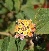 foto of lantana  - Beautiful blossom of Lantana camara subtropical plant