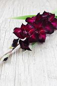 picture of gladiolus  - beautiful maroon gladiolus on a light wooden background - JPG