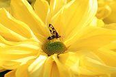 stock photo of chrysanthemum  - Chrysanthemum flower and insect - JPG