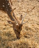 picture of bambi  - Young deer in the pasture eating hay - JPG