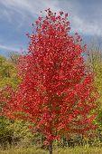 picture of backbone  - A Red Maple Tree in Fall Colors in Backbone State Park in Iowa - JPG