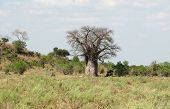 picture of marsh grass  - a baobab tree at the Savuti Marsh area in the Chobe National Park in Botswana Africa - JPG