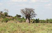 stock photo of baobab  - a baobab tree at the Savuti Marsh area in the Chobe National Park in Botswana Africa - JPG