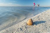 picture of cockle shell  - Shelling on the Sandbar During Low Tide - JPG