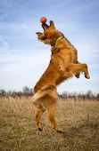 stock photo of leaping  - Golden retriever leaping in midair with orange ball on tip of nose - JPG