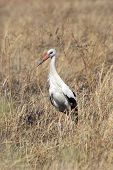 stock photo of grass bird  - A white stork Ciconia ciconia in the grass of the savannah in Serengeti National Park Tanzania - JPG