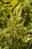 image of mimosa  - Yellow flowers and green leaves of silver wattle blue wattle mimosa - JPG