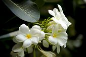 picture of champa  - White And Yellow Frangipani Flowers With Leaves In Background - JPG