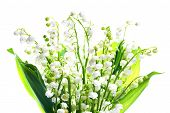 pic of white lily  - White flowers lilies of the valley isolated on white background