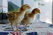 stock photo of poultry  - Rhode Island Red chicken poultry beautiful American breed. ** Note: Soft Focus at 100%, best at smaller sizes - JPG