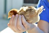pic of poultry  - Rhode Island Red chicken poultry beautiful American breed - JPG