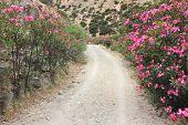 stock photo of oleander  - Blooming oleanders in Greece  - JPG