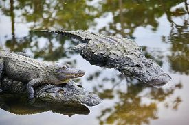 foto of alligator  - Alligator family with mother carrying her child and father alligator - JPG
