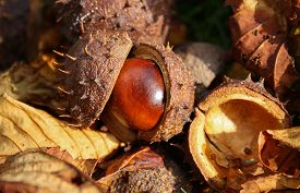 image of chestnut horse  - Horse chestnut seed braking out of its shell - JPG