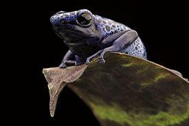foto of poison arrow frog  - blue frog Dendrobates Azureus - JPG