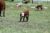 picture of hereford  - Hereford calf in a grass covered pasture with other calves in the back ground - JPG