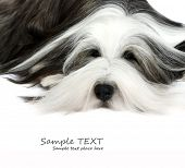 stock photo of hairy tongue  - Sheepdog in front of a white background - JPG