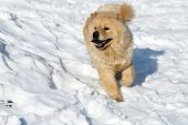 Chow-Chow Dog On Snow poster