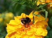 pic of gadfly  - Gadfly on yellow flower - JPG